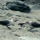 South Polar skua. Pair dismembering an Antarctic petrel chick. Hop Island, Prydz Bay, Antarctica, January 1990. Image © Colin Miskelly by Colin Miskelly