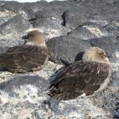 South Polar skua. Pair sheltering from gale. Cape Royds, November 2011. Image © Terry Greene by Terry Greene