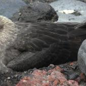 South Polar skua. Incubating adult at nest. Deception Island, South Shetland Islands, December 2009. Image © Tony Crocker by Tony Crocker