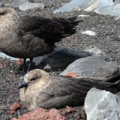 South Polar skua. Pair at nest. Deception Island, South Shetland Islands, December 2009. Image © Tony Crocker by Tony Crocker