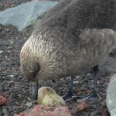 South Polar skua. Adult at nest with two eggs. Deception Island, South Shetland Islands, December 2009. Image © Tony Crocker by Tony Crocker