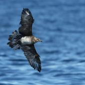 Pomarine skua. Immature in flight. Port MacDonnell pelagic, South Australia, March 2017. Image © Craig Greer by Craig Greer