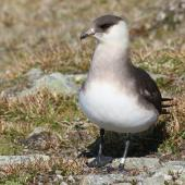 Arctic skua. Adult (pale morph) on breeding grounds. Longyearbyen, Svalbard, Norway, June 2019. Image © John Fennell by John Fennell