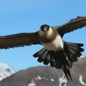 Arctic skua. Adult (pale morph) in flight at breeding grounds. Longyearbyen, Svalbard, Norway, June 2019. Image © John Fennell by John Fennell