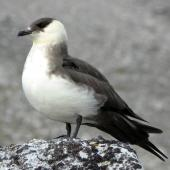 Arctic skua. Breeding adult, pale morph. Svalbard, July 2011. Image © Tony Crocker by Tony Crocker