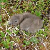 Long-tailed skua. Young chick . Yukon Kuskokwim Delta, June 2004. Image © Sarah Jamieson by Sarah Jamieson