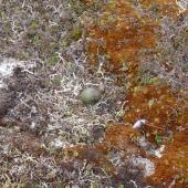 Long-tailed skua. Nest with 1 egg. Yukon Kuskokwim Delta, June 2004. Image © Sarah Jamieson by Sarah Jamieson