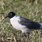 Franklin's gull. Adult in breeding plumage. Tuamarina, July 2013. Image © Will Parsons by Will Parsons