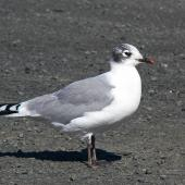 Franklin's gull. Adult non-breeding plumage. Bruce Pulman Park, Takanini, October 2009. Image © Peter Frost by Peter Frost