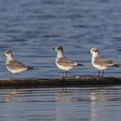 Franklin's gull. Three birds at various stages of moult, including one in basic plumage. Manhattan, Kansas, September 2014. Image © David A. Rintoul by David A. Rintoul