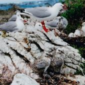 Red-billed gull. Breeding colony with adults, immatures and 2 large chicks. Kaikoura, December 1996. Image © Joke Baars by Joke Baars