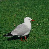 Red-billed gull. Adult. Lake Rotorua, December 2001. Image © Tamas Zeke by Tamas Zeke