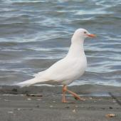 Red-billed gull. Leucistic adult. Nelson Haven, February 2015. Image © Warren Plum by Warren Plum