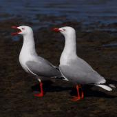 Red-billed gull. Pair. Northland, January 2008. Image © Peter Reese by Peter Reese