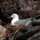 Red-billed gull. Adult on nest. Mayor Island, December 2007. Image © Peter Reese by Peter Reese