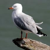 Red-billed gull. Adult non-breeding. Whanganui, March 2009. Image © Ormond Torr by Ormond Torr