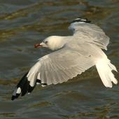 Red-billed gull. Adult. Whanganui, March 2010. Image © Ormond Torr by Ormond Torr
