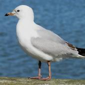 Red-billed gull. Immature. Pahi, Kaipara Harbour, July 2012. Image © Thomas Musson by Thomas Musson tomandelaine@xtra.co.nz