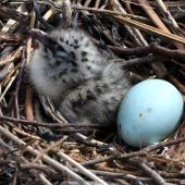 Red-billed gull.  Chick and egg in nest. Boulder Bank, Nelson, December 2011. Image © Rebecca Bowater by Rebecca Bowater  FPSNZ www.floraandfauna.co.nz