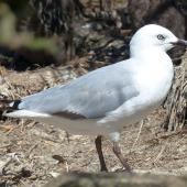Red-billed gull. Immature. Enderby Island, Auckland Islands, January 2018. Image © Alan Tennyson by Alan Tennyson