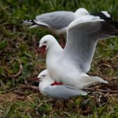 Red-billed gull. Pair mating. Near Taiaroa Head, November 2011. Image © Sonja Ross by Sonja Ross