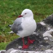 Red-billed gull. Adult. Enderby Island,  Auckland Islands, January 2018. Image © Colin Miskelly by Colin Miskelly