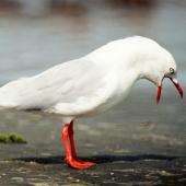 Red-billed gull. Adult calling. Manawatu River estuary, February 2000. Image © Alex Scott by Alex Scott