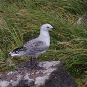 Red-billed gull. Fledgling. Enderby Island,  Auckland Islands, January 2018. Image © Colin Miskelly by Colin Miskelly