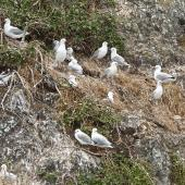 Red-billed gull. Breeding colony. Bay of Islands, December 2015. Image © Les Feasey by Les Feasey