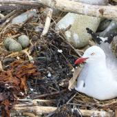 Red-billed gull. Adult on nest alongside a nest with three eggs. Boulder Bank,  Nelson, November 2017. Image © Rebecca Bowater by Rebeccca Bowater FPSNZ AFIAP www.floraandfauna.co.nz