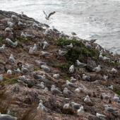 Red-billed gull. Breeding colony with young chicks. Cape Brett, Northland, November 2018. Image © Michelle Martin by Michelle Martin
