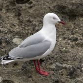 Red-billed gull. Adult. Mangere Island, Chatham Islands, October 2020. Image © James Russell by James Russell