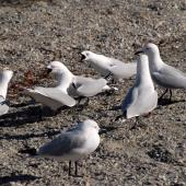 Black-billed gull. Three pairs displaying. Queenstown, October 2008. Image © Peter Reese by Peter Reese