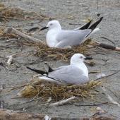Black-billed gull. Adults on nests. Motueka Sandspit, Tasman Bay, January 2017. Image © Rebecca Bowater by Rebecca Bowater FPSNZ AFIAP www.floraandfauna.co.nz