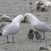 Black-billed gull. Adults calling around their chicks. Motueka Sandspit, Tasman Bay, January 2017. Image © Rebecca Bowater by Rebecca Bowater FPSNZ AFIAP www.floraandfauna.co.nz