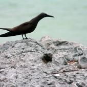 Brown noddy. Adult with white chick. Wake Atoll, August 2004. Image © David Boyle by David Boyle