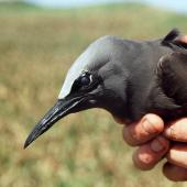 Brown noddy. Close up of adult head and bill, natural light. Curtis Island, October 1989. Image © Graeme Taylor by Graeme Taylor