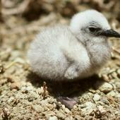Brown noddy. Chicks in nest. Curtis Island, October 1989. Image © Graeme Taylor by Graeme Taylor