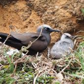 Brown noddy. Adult and chick at nest site. Phillip Island, Norfolk Island, November 2016. Image © Ian Armitage by Ian Armitage