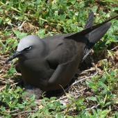 Brown noddy. Adult on ground nest. Lady Elliot Island, Queensland, November 2012. Image © Tony Crocker by Tony Crocker