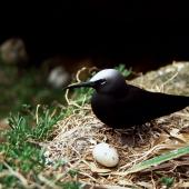 Black noddy. Adult on nest with egg. Curtis Island, November 1989. Image © Graeme Taylor by Graeme Taylor