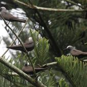Black noddy. Four adults at nesting site. Norfolk Island, March 2011. Image © Duncan Watson by Duncan Watson