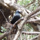 Black noddy. Adult on nest. Phillip Island, Norfolk Island, November 2016. Image © Ian Armitage by Ian Armitage
