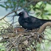 Black noddy. Adult on nest. North Meyer Islet, Kermadec Islands, November 1966. Image © Department of Conservation (image ref: 10043421) by Don Merton Courtesy of Department of Conservation