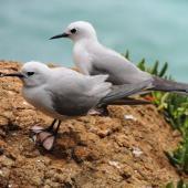 Grey noddy. Two adults. Phillip Island, Norfolk Island, November 2016. Image © Ian Armitage by Ian Armitage