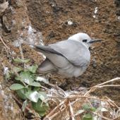 Grey noddy. Adult roosting. Phillip Island, Norfolk Island, November 2016. Image © Ian Armitage by Ian Armitage
