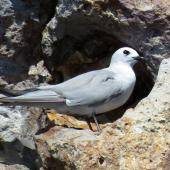 Grey noddy. Adult roosting. Sugarloaf Rock, Poor Knights Islands. Image © Scott Brooks (ourspot) by Scott Brooks