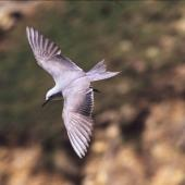 Grey noddy. Adult in flight. Curtis Island, Kermadec Islands, October 1989. Image © Alan Tennyson by Alan Tennyson