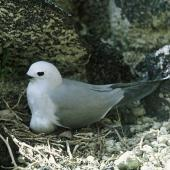Grey noddy. Adult on nest containing an egg. Macauley Island, Kermadec Islands, September 1966. Image © Department of Conservation (image ref: 10036299) by Brian Bell, Department of Conservation Courtesy of Department of Conservation