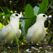White tern. Pair at nest site. Aitutaki, Cook Islands, July 2012. Image © Ian Armitage by Ian Armitage
